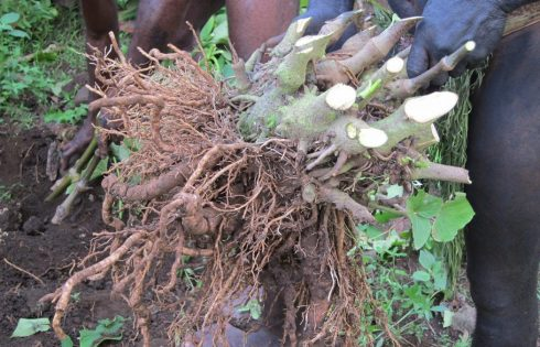 Appeals for Vanuatu to seek dialogue with Poland on kava ban