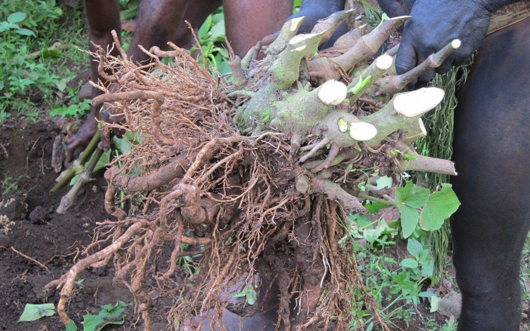 Kava is a root planet, harvested like a Kasava